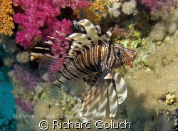Lionfish-Red Sea by Richard Goluch 